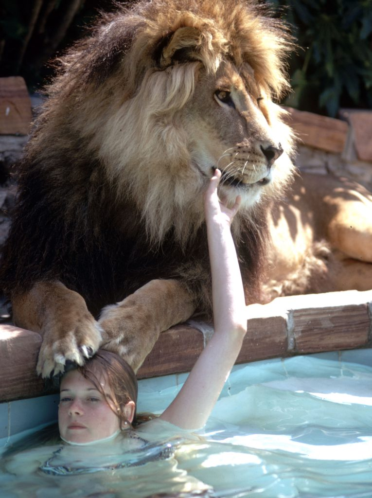 neil the lion by swimming pool